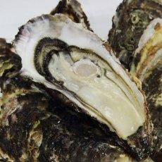 画像2: 三陸山田湾産 殻付牡蠣 (2)