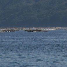 画像3: 【お急ぎ便】三陸山田湾産 殻付牡蠣 (お届け地域限定) (3)