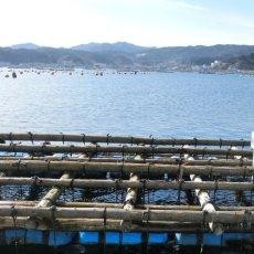 画像7: 【お急ぎ便】三陸山田湾産 殻付牡蠣 (お届け地域限定) (7)